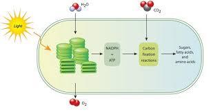 dark reactions in the chloroplast