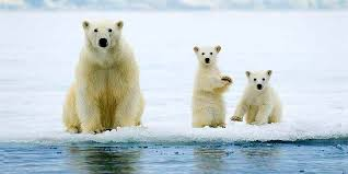 No Safe Haven for Polar Bears in Warming Arctic - EcoWatch
