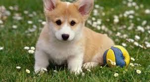 0193 puppy dog corgi live wallpaper