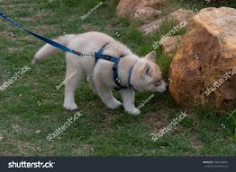 Cute Siberian Husky Puppy On Leash Stock Photo (Edit Now) 1595164891