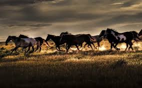 wild horses wallpapers top free wild