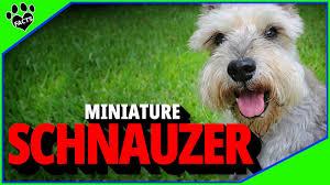 miniature schnauzer dogs 101 you