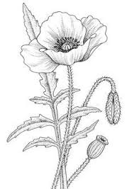 Black And White Drawing Poppy Flower Google Search Bloem