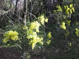 National Wattle Day - Queensland
