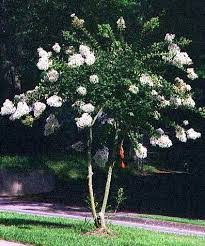 """Lagerstroemia indica Crepe Myrtle – """"Acoma"""" Dwarf/compact White ..."""