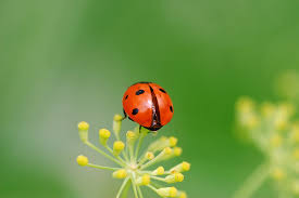 attracting ladybugs into your garden
