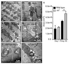 Cells | Free Full-Text | BKCa (Slo) Channel Regulates Mitochondrial  Function and Lifespan in Drosophila melanogaster