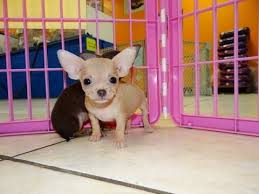 chihuahua puppies dogs in