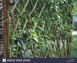 Fence Woven Living Willow Fen102625 Stock Photo Alamy