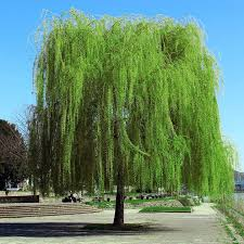 weeping willow tree at nature