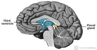 The Pineal Gland - Structure - Vasculature - TeachMeAnatomy