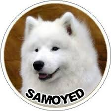 2 Samoyed Car Stickers By Starprint Auto Combined Postage Ebay