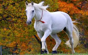 free white horse wallpaper