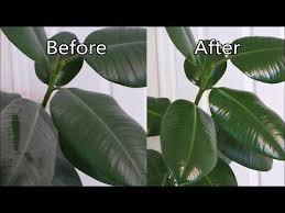 polish houseplant leaves rubber plant