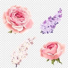 ثوب قرنفلي اللون أزهر وردة تصوير ورود الحديقة Centifolia