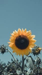sky flower sunflower yellow plant