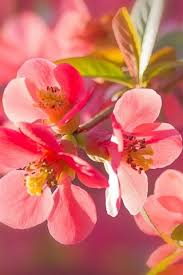 pink quince flowers macro photography