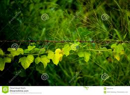 Climbing Plants On A Barbed Wire Creeper Plants Growing On Barbed Wire Fence Stock Image Image Of Dark Growth 92316137