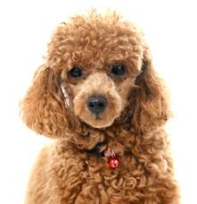 poodle toy or tea cup puppies for