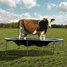 Search Cow Stuck Over Fence Meme Generator