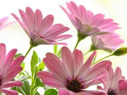 20 خلفية زهور رائعة عالية الدقة مجانا Pink Flowers Wallpaper