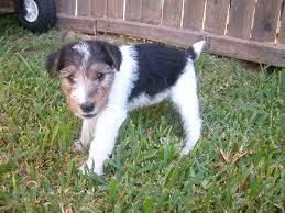 wire fox terrier puppies in texas