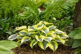 shade plants perennials flowers