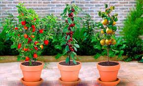 3 columnar fruit trees groupon
