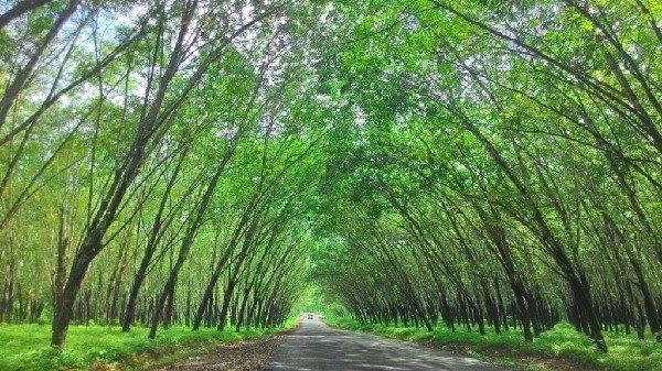 coc-regional--lokasi-wisata-pesona-kebun-karet-trikora-lampung-ala-ala-korea
