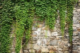 Wall Ivy - Stone Wall With Plants Background - 1500x1000 Wallpaper -  teahub.io