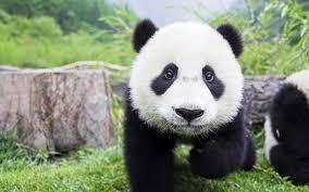 backgrounds fluffy mammals panda bears
