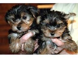 raised teacup yorkshire terrier puppies