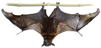 We are prisoners in our own homes' More than 100,000 Bats Plague Tiny  Australian Town