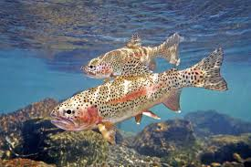 most viewed trout wallpapers 4k