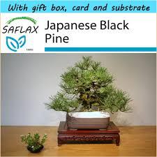 saflax gift set bonsai anese