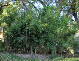 Creating A Privacy Hedge With Bamboo A Complete Guide