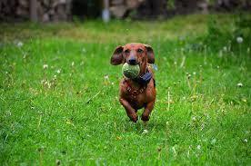 royaltyfri hundar som leker med boll foton | Piqsels