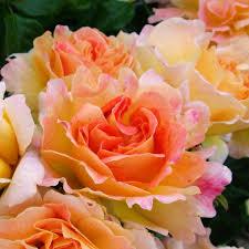 Named Plants Rose Dame Judi Dench ...