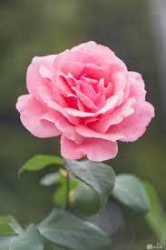 صور الورد الملون الجميل
