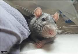 فيديو فأر يقوم بتناول المكرونة بشكل مضحك للغاية رائج