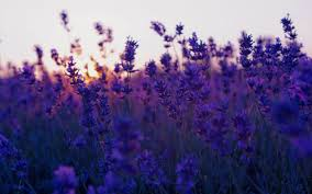 76 lavender wallpapers on wallpaperplay