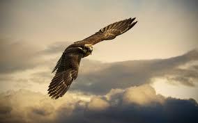 تحميل خلفيات الصقور القطامي الطيور الجارحة الطيور الرحلة عريضة