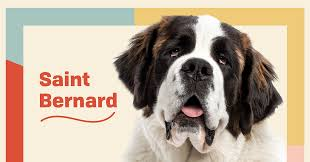 Saint Bernard Dog Breed Information ...