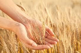 why you need wheat germ the dr oz show
