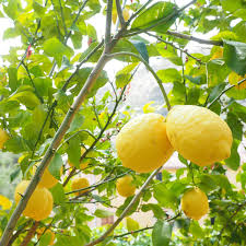 Lemon 100% Pure Essential Oil 10 ml. | Sabai-arom