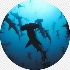 Shark Scuba Diving Wall Decal Liveaboard Great Hammerhead Shark Marine Mammal Furniture Png Pngegg