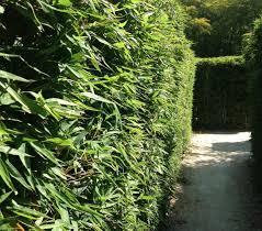 Should I Plant A Bamboo Hedge For Privacy Bambu Batu