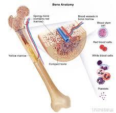 figure anatomy of the bone the