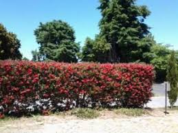 Bottle Brush Hedge Google Search Back Gardens Country Gardening Hedges