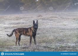 Dutch Shepherd Dog In The Country On A ...